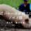 【とんがり美味しいもの通信】<br>vol.4 若いエースが育てたアポイ豚